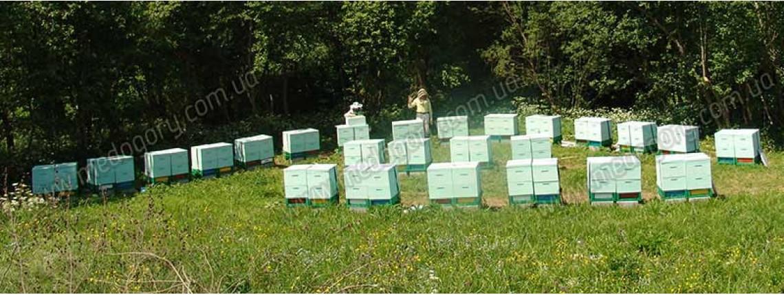 10.06.2015 р. Пакети бджіл виросли до двох корпусів.