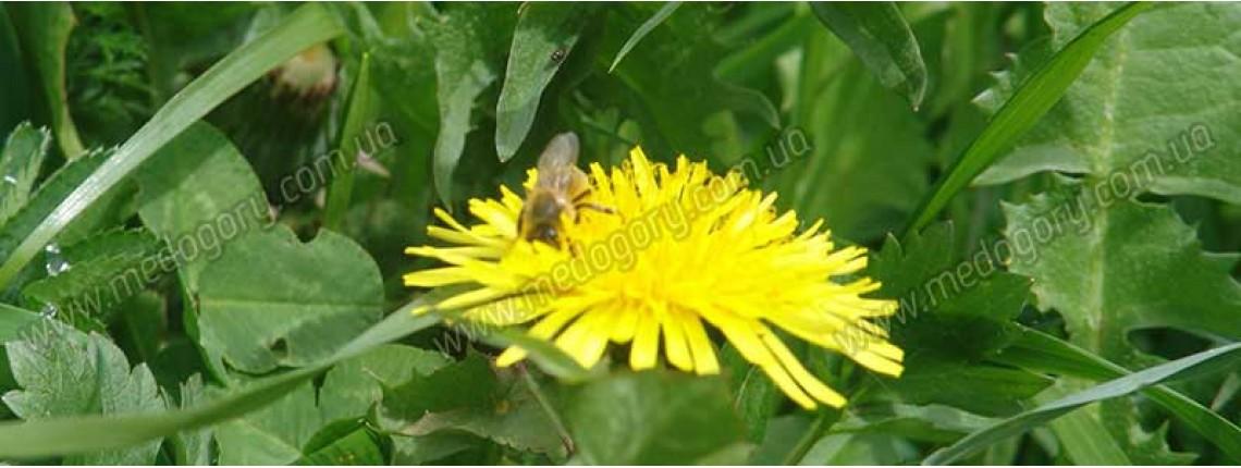 11.05.2016 р. Бджола збирає нектар з кульбаби.
