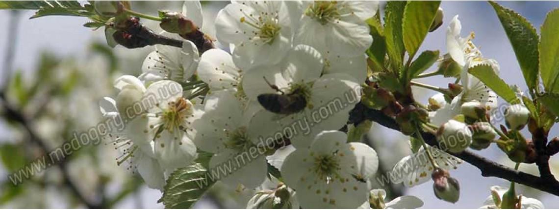 11.05.2016 р. Бджола збирає нектар з вишневого цвіту.
