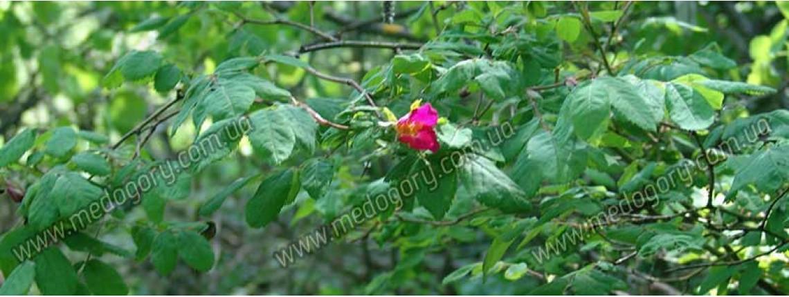 29.05.2016 р. Дика троянда цвіте у лісі.